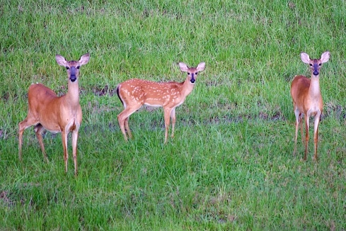 White-tailed Deer Family Portrait