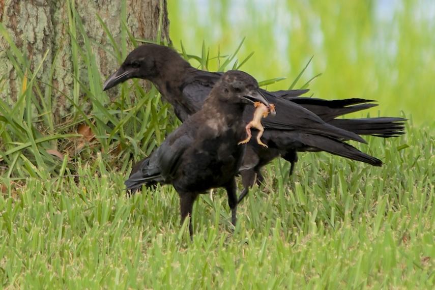 Crow Eats Frog