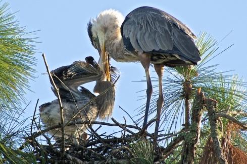 Great Blue Heron feeding baby