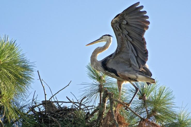 Great Blue Heron landing on nest
