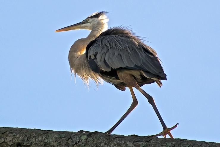 Great Blue Heron walking on tree branch