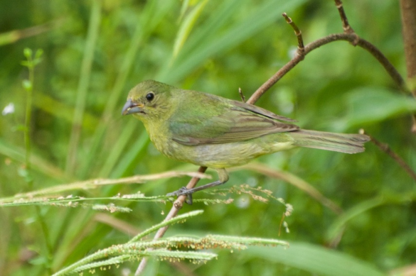 Green Finch Eating