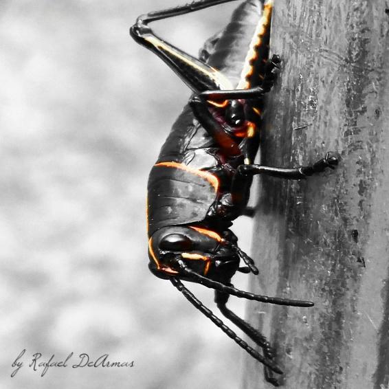 Baby North Eastern Lupper Grasshopper