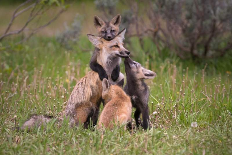 Fox and Kittens