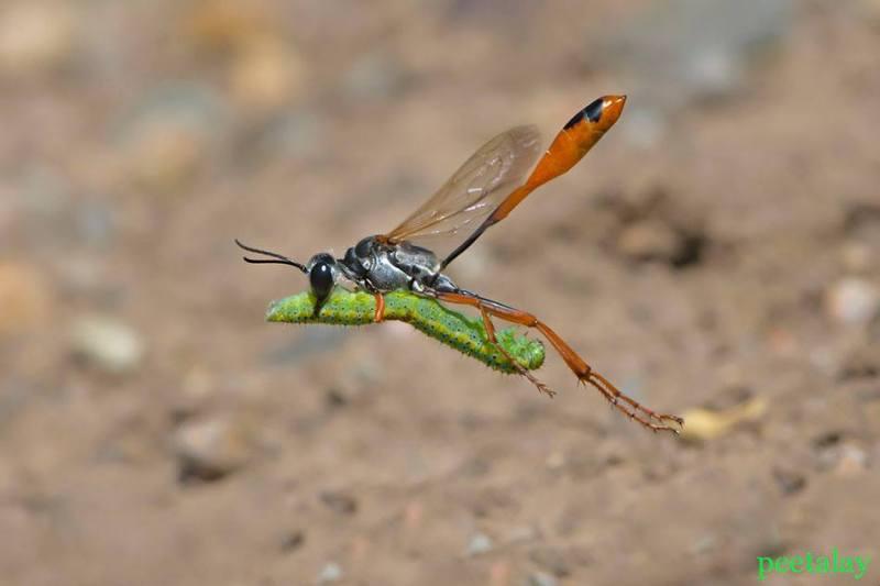 Wasp taking Caterpillar by Peetalay Ok
