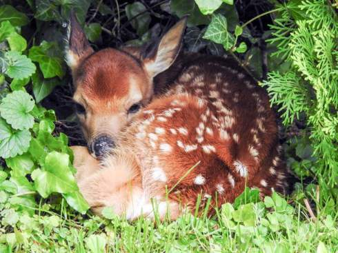 Baby Deer By Sharon Finnegan Young