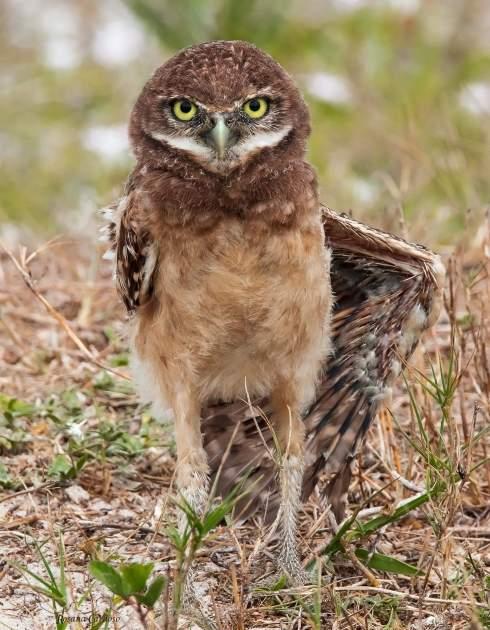 bird, owl, land, day