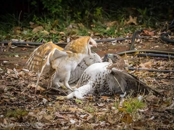 Hawk by Jeff Kahn