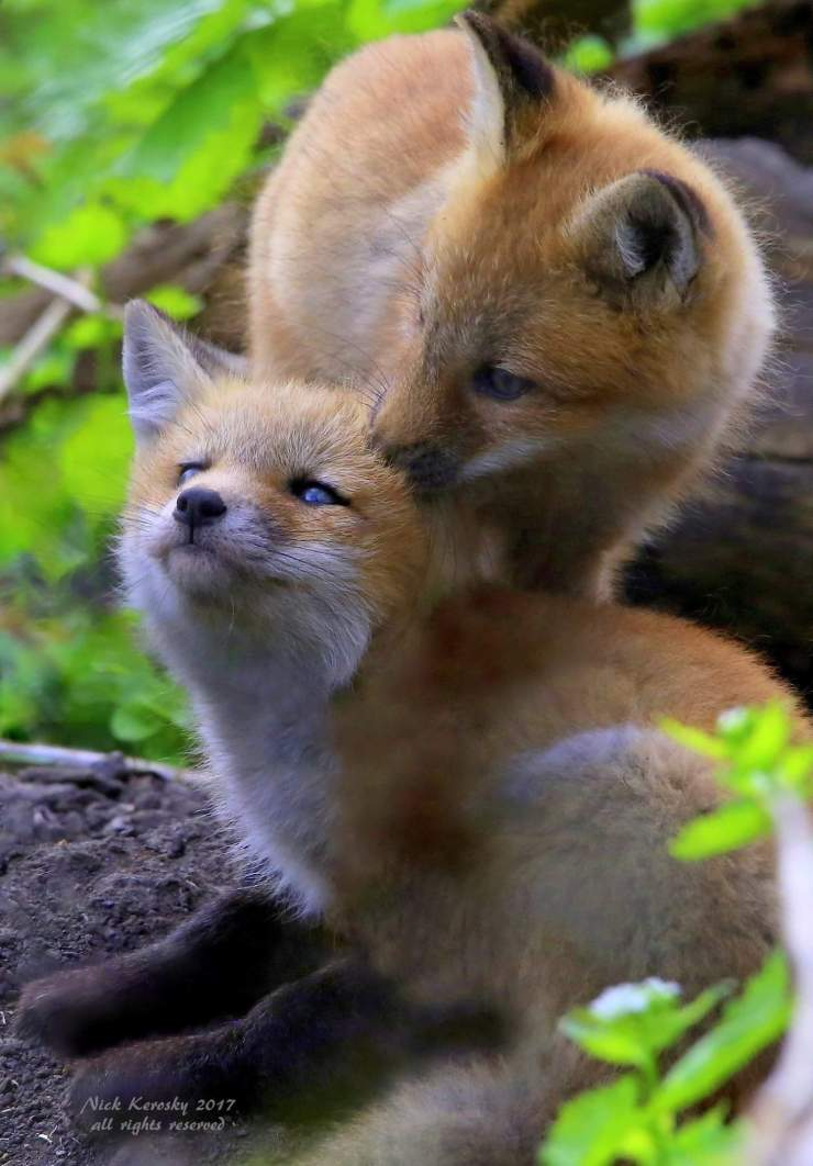 Young Fox's