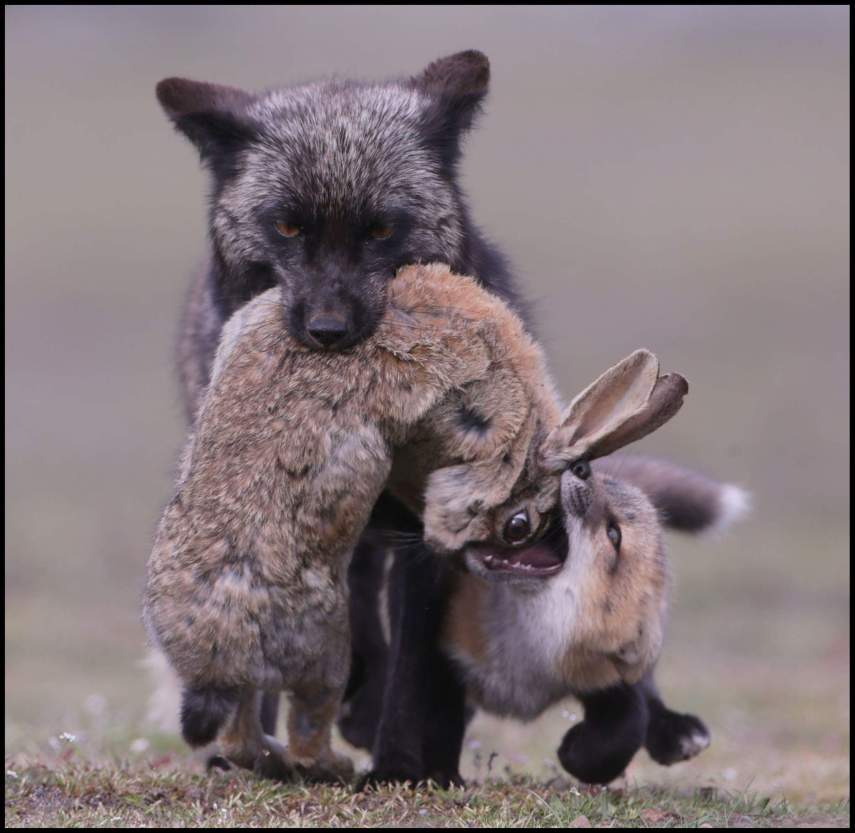 Mother Fox Hunt's Rabbit
