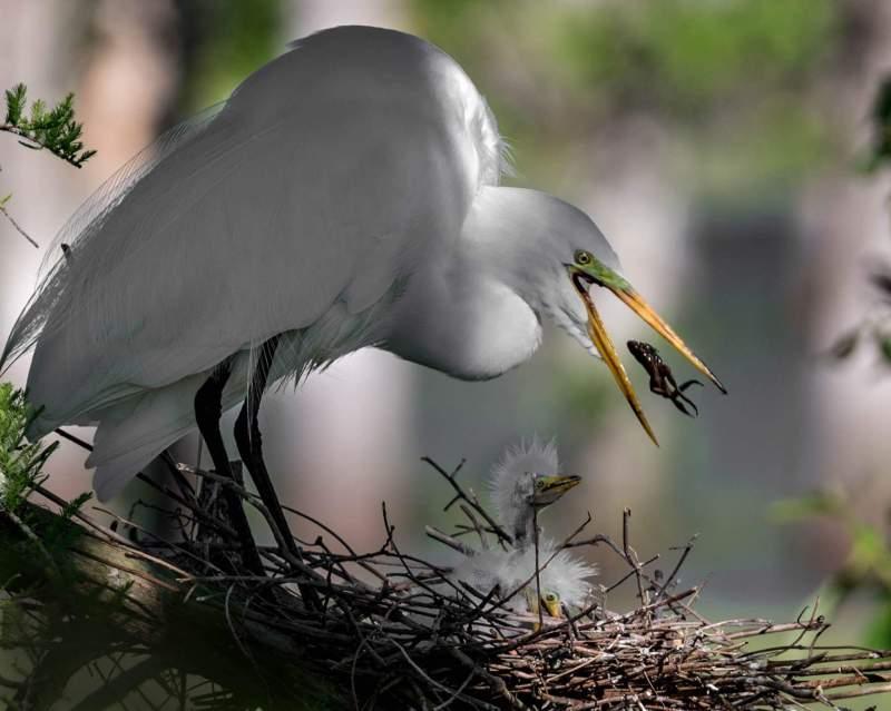White Crane Catches Frog