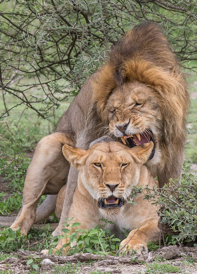 Male and female Lion mate
