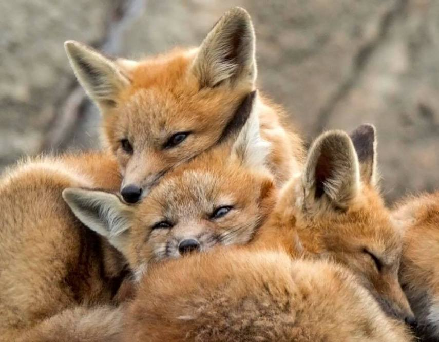 Fox Kittens