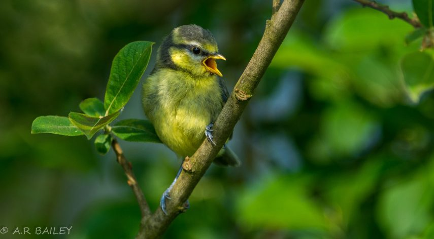 Blue Tit Fledgling