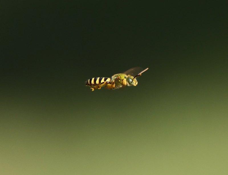 Sweat Bee in flight