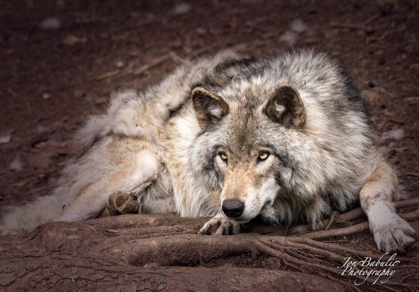 Female Alpha Wolf