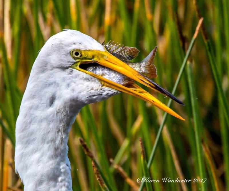 Bird eats fish
