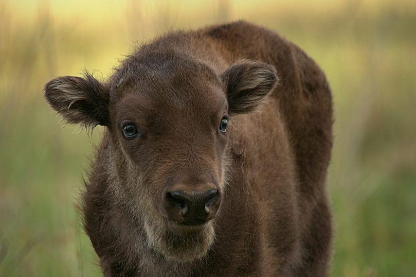 European Wood Bison, Wisent, European Bison, Bonasus