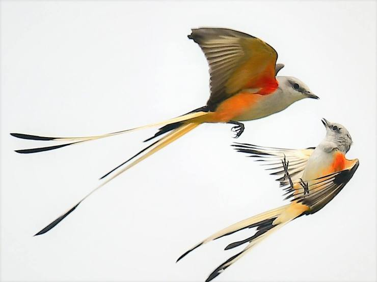 Scissor-Tailed Flycatchers
