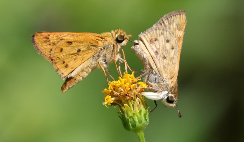 Male and female Sachem Skippers