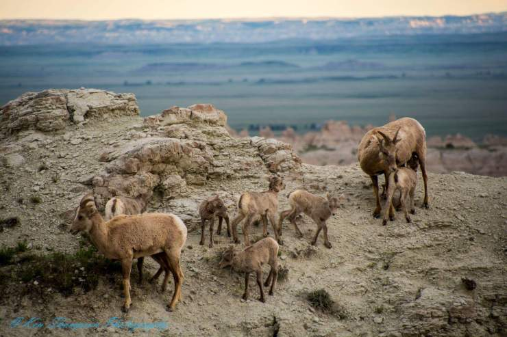 Big Horn Sheep Herd