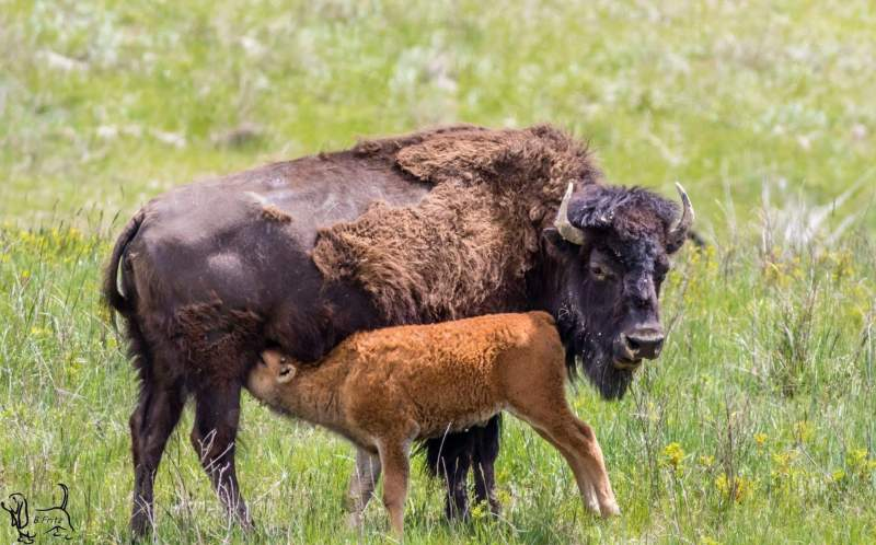 Wild Buffalo Nursing