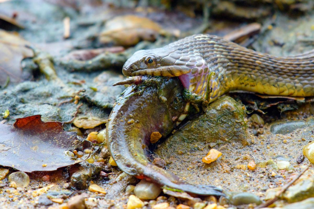 Northern water snake eating fish by chuck walker best for Best eating fish