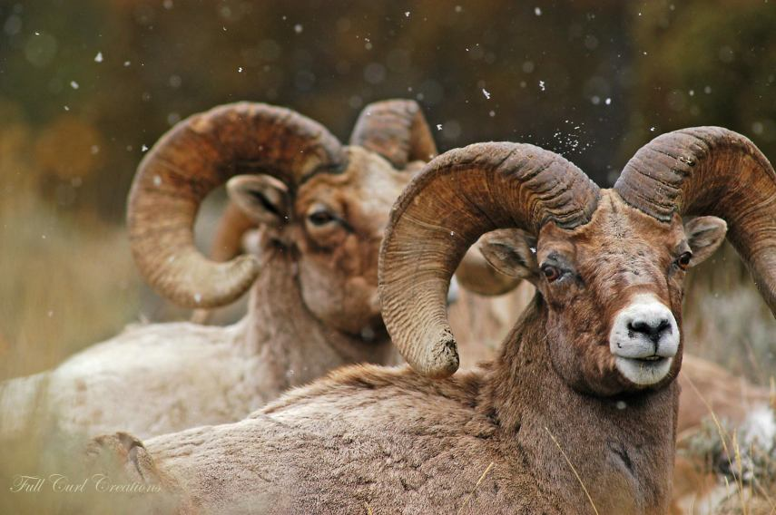Bighorn Sheep Rams with Snow Flurries Falling