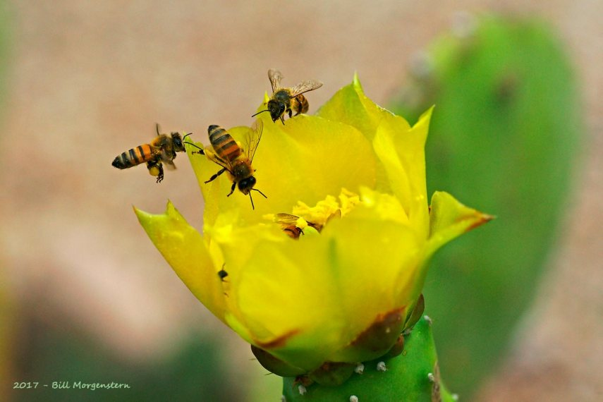 Honey Bees Hover Over Cactus