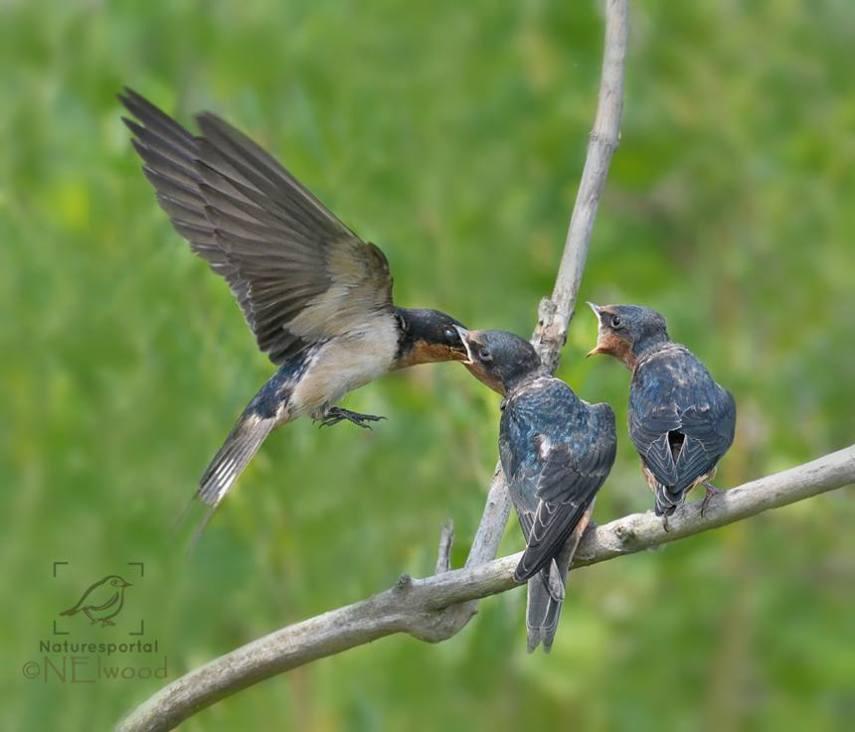 Barn Swallows Feeding