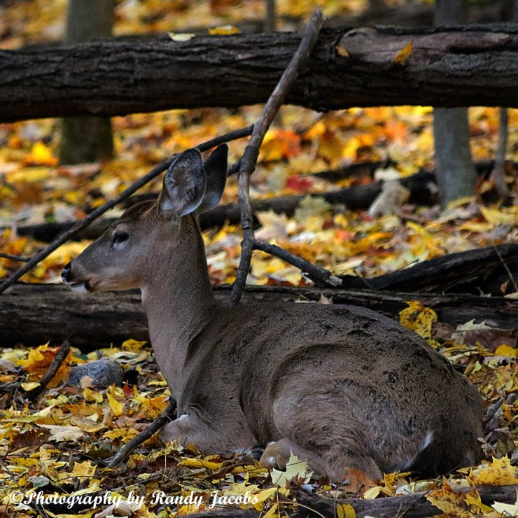 Yearling doe resting on the Fall leaves